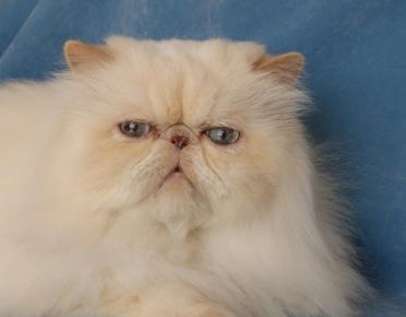 Персидский кот окраса cream-point