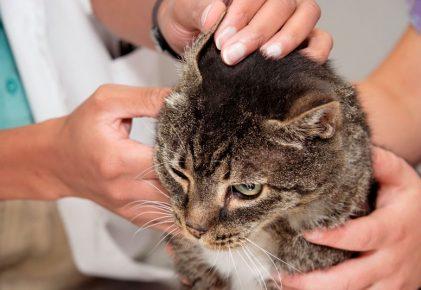 Кота осматривает врач