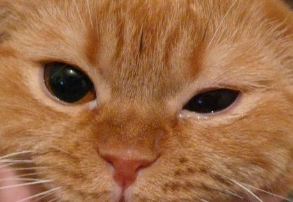 Кот с гноящимся глазом