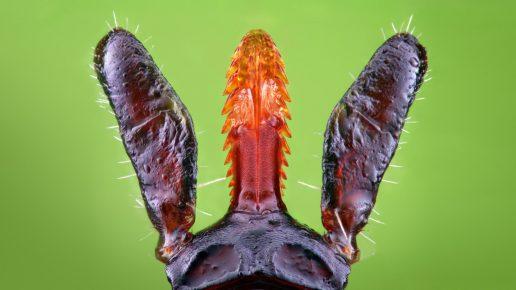 Хоботок клеща под микроскопом