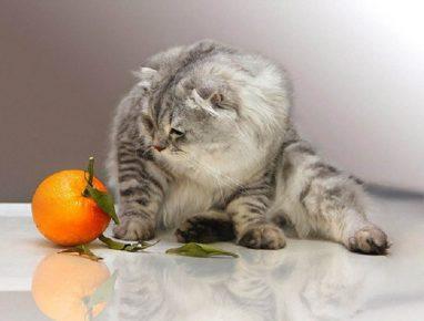 Кот и апельсин