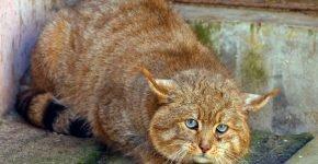 Гобийская кошка
