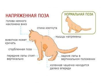 Поза кота при мочеиспускании