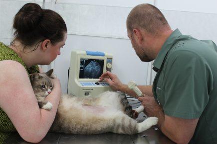 Кошке делают УЗИ