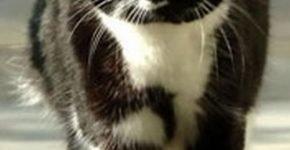 Кошка Сибил