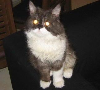 У кошки светятся глаза