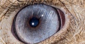 Глаз страуса