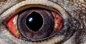 Глаз кубинской игуаны