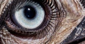 Глаз птицы-носорога