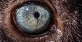 Глаз чёрного лемура