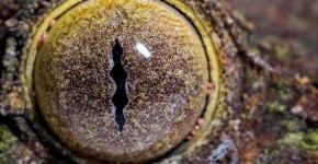 Глаз листохвостого геккона
