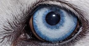 Глаз собаки породы хаски