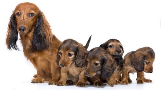 Такса и щенки