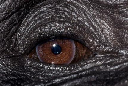 Глаз шипманзе