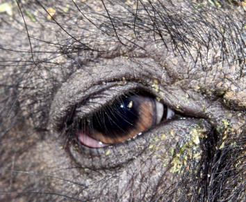 Глаз свиньи