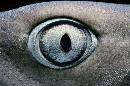 Глаз акулы