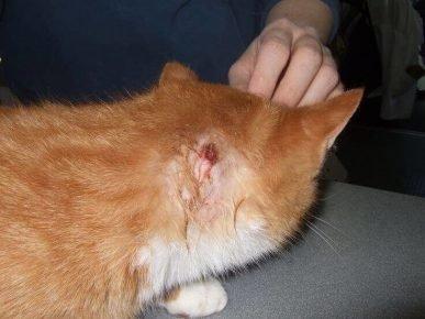 Развивающийся абсцесс у кошки в области шеи