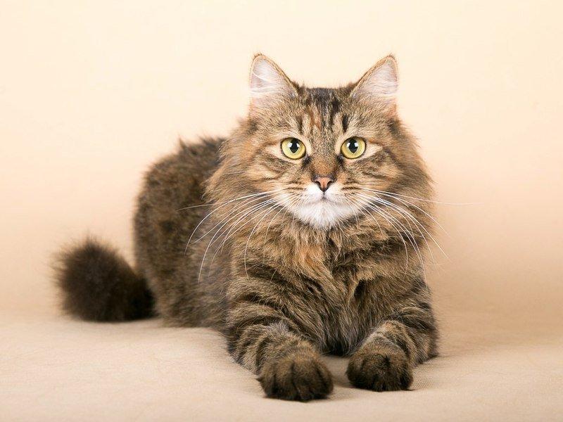 Цистит у кота или кошки - что делать