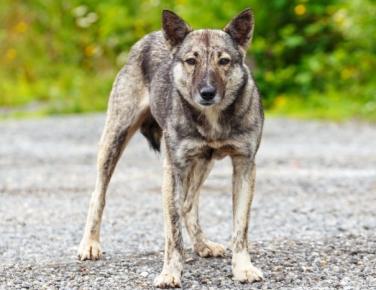 Крупный пёс