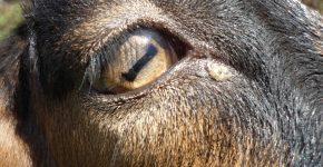Глаз козы