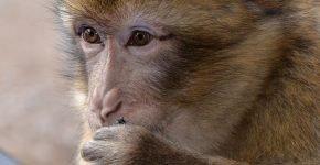 Узконосая обезьяна