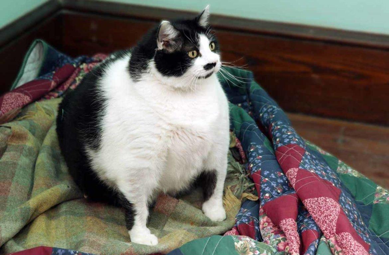 Как похудеть британской кошке