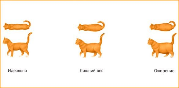 Как определить тип телосложения кошки