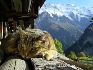 Кошка на фоне Швейцарских Альп