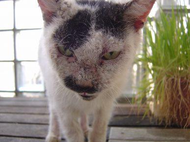Кот, заражённый нотоэдрозом