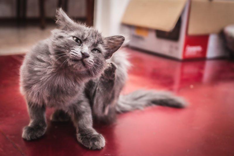 Как выглядит чесотка у кошки первые признаки лечение в домашних условиях и симптомы передатся ли чесотка человеку