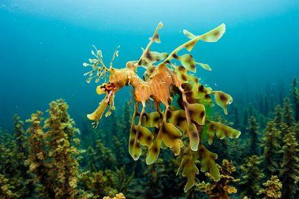 Морской конёк-тряпичник