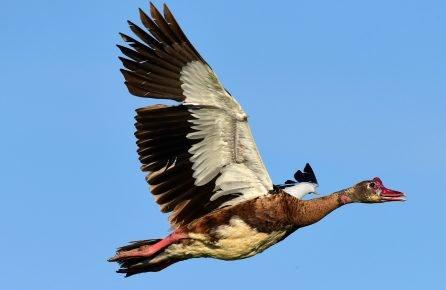 Шпорцевый гусь в полёте