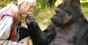 Горилла Коко с зоопсихологом