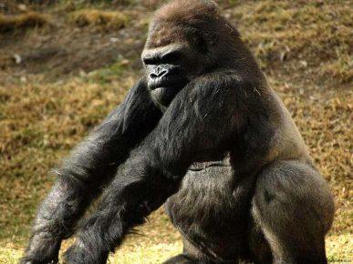 Самец гориллы сидит