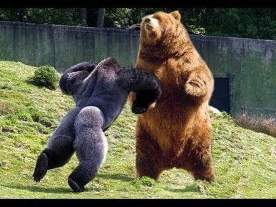 Горилла дерётся с медведем