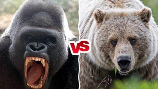 Горилла против медведя