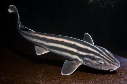 Полосатая акула