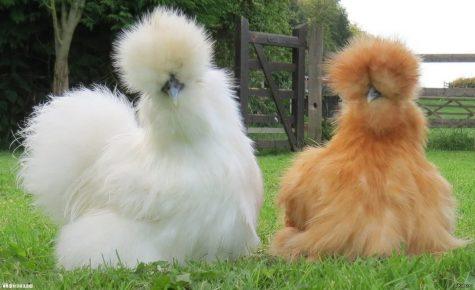 Китайская шёлковая курица