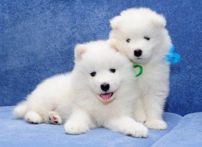Самоедовская собака