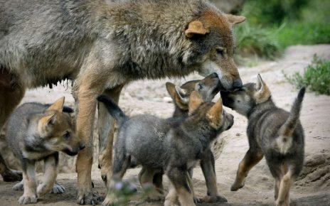 волк с волчатами