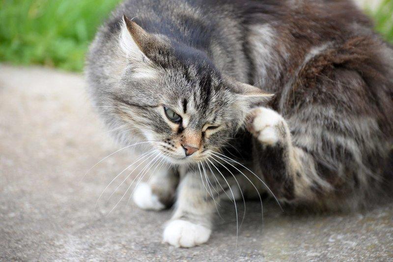 Как закапывать уши кошке