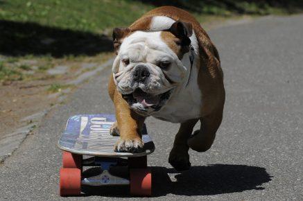 Бульдог на скейте