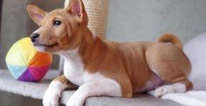 Басенджи (или африканская нелающая собака)