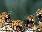 Много смеющихся тигров