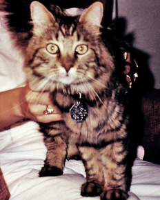 Мейн-кун, клонированный в 2004 году