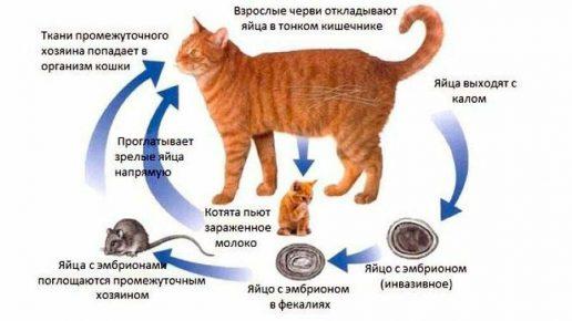 Как котёнок заражается глистами