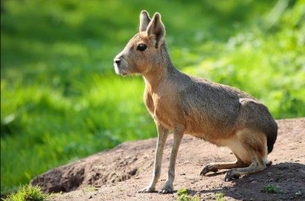 патагонский заяц
