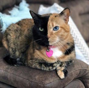 двуликая кошка венера