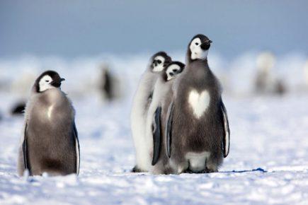 пингвин с сердцем на груди