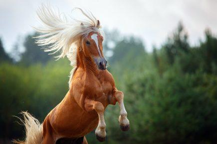 Лошадь породы хафлингер